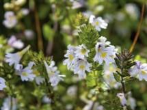 Euphrasia officinalis - Augentrost; Euphrasia officinalis